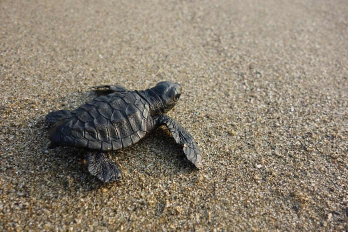 Baby Turtle going to see after hatching in Andamans
