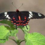 A Crimson Rose is not a rose but a Butterfly