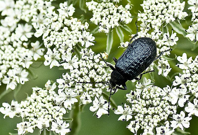 beetle in valley of flowers on white flowers