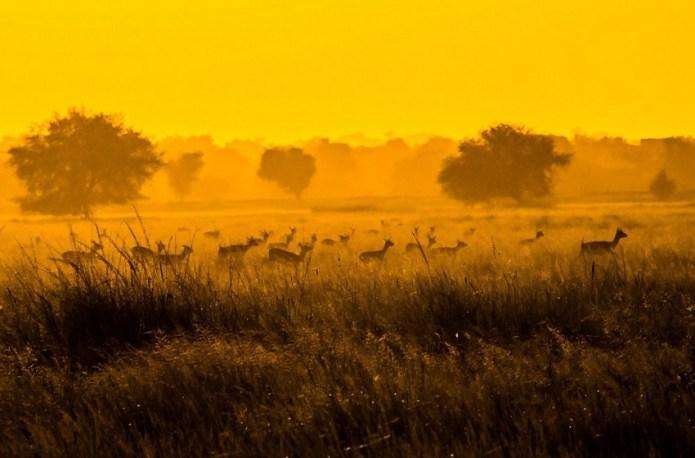 Blackbuck Tal Chapr Rajasthan