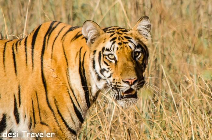 Tiger Closeup Tadoba