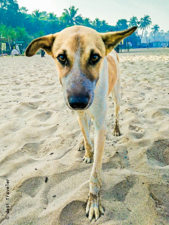 Aksa Beach Dog