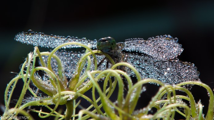 Dragonfly with dewdrops