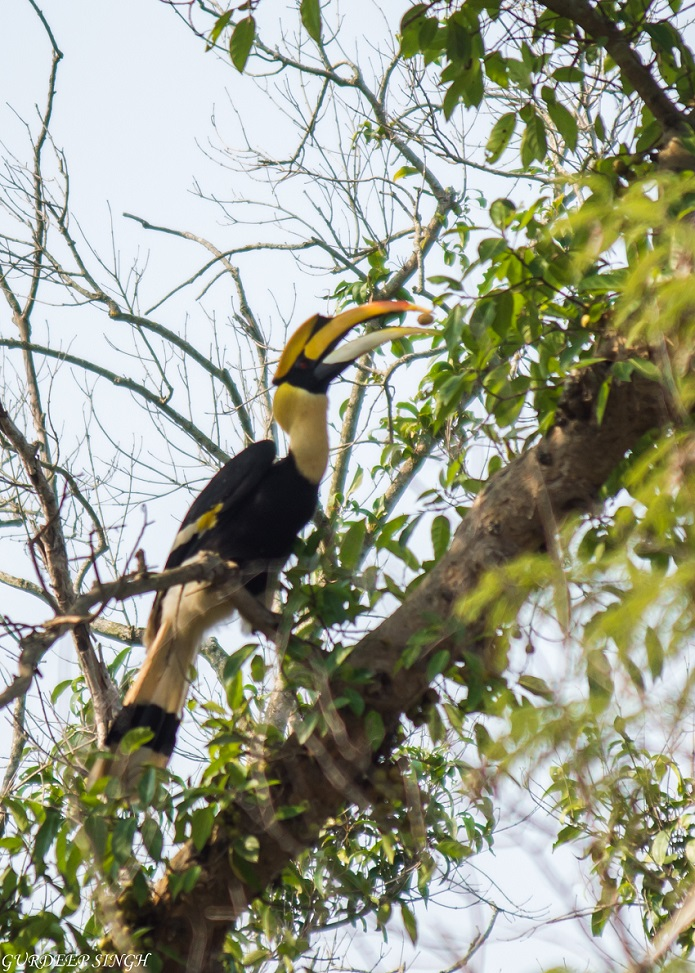 Great Indian Hornbill with seed in beak