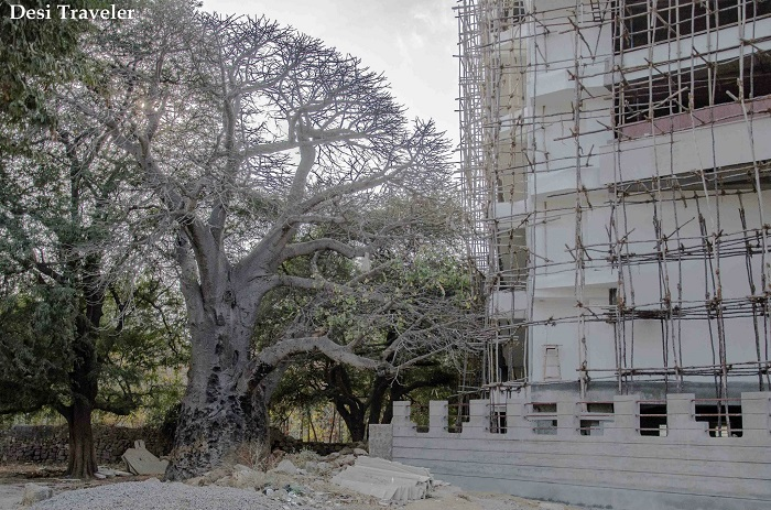 baobab tree of financial district hyderabad