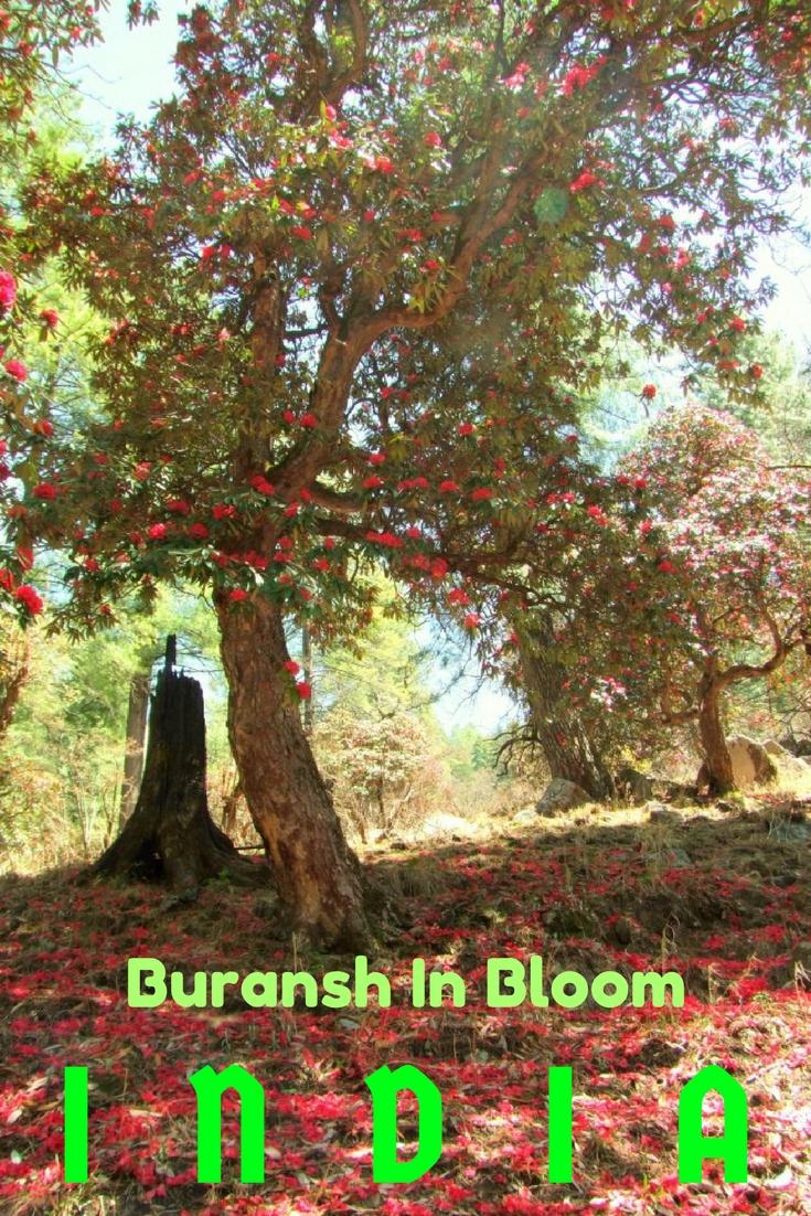 Buransh Flowering Uttarakhand