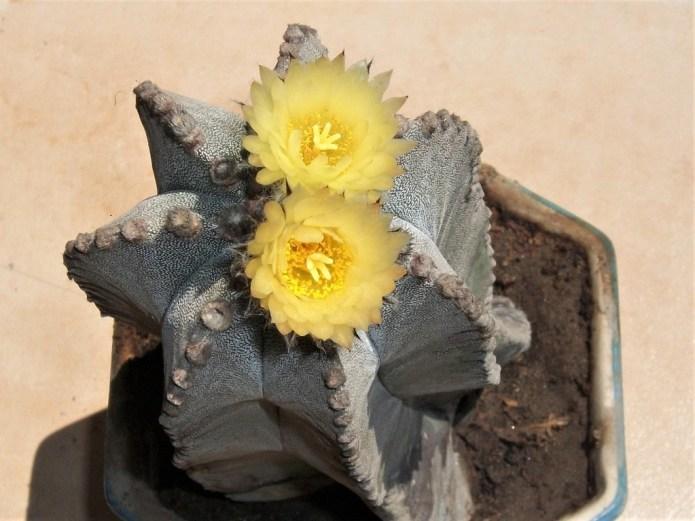 Astrophytum myriostigma in flower