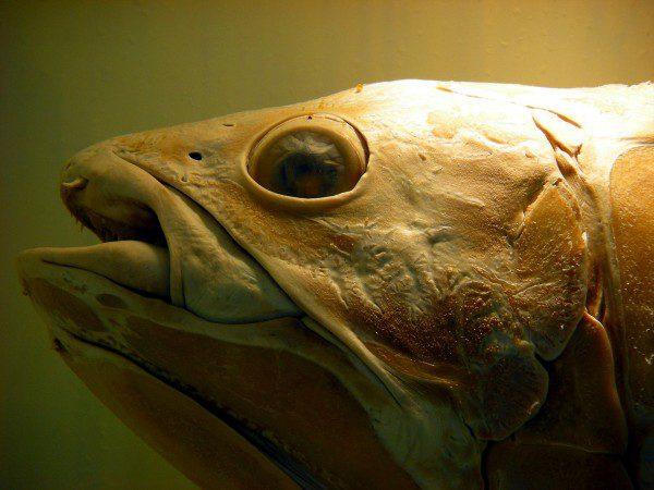 Peces fósiles 'extintos' que se cree que vivieron hace 420 millones de años se encuentran vivos