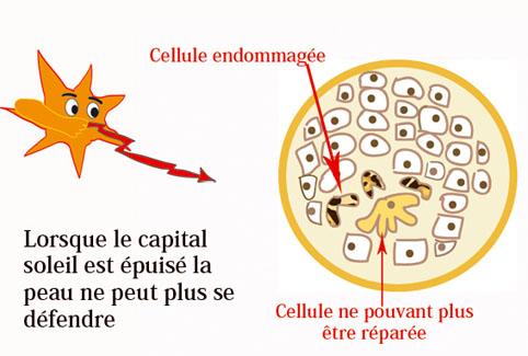 Capital soleil protéger les cellules