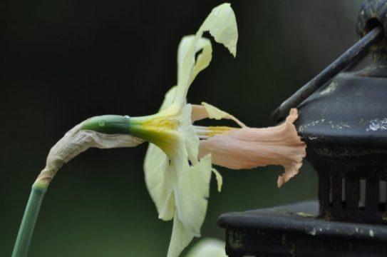 narcisse mangée par les escargots