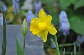 Narcisse et muscaris