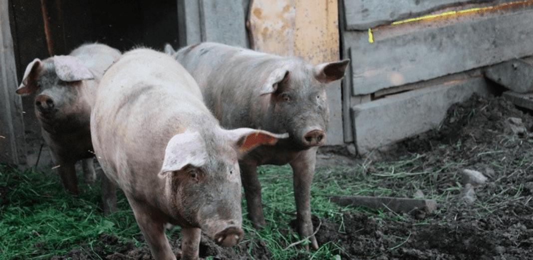 Decenas de cerdos mueren en las ultimas horas en comunidad de San Juan