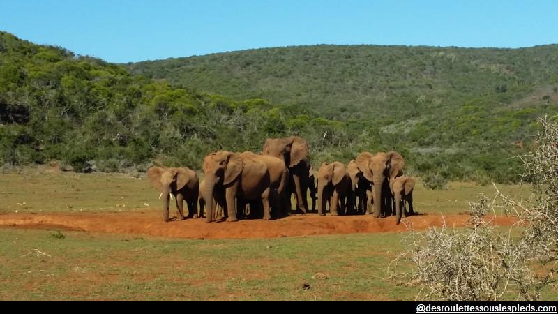 Eléphants Addo Park Afrique du sud