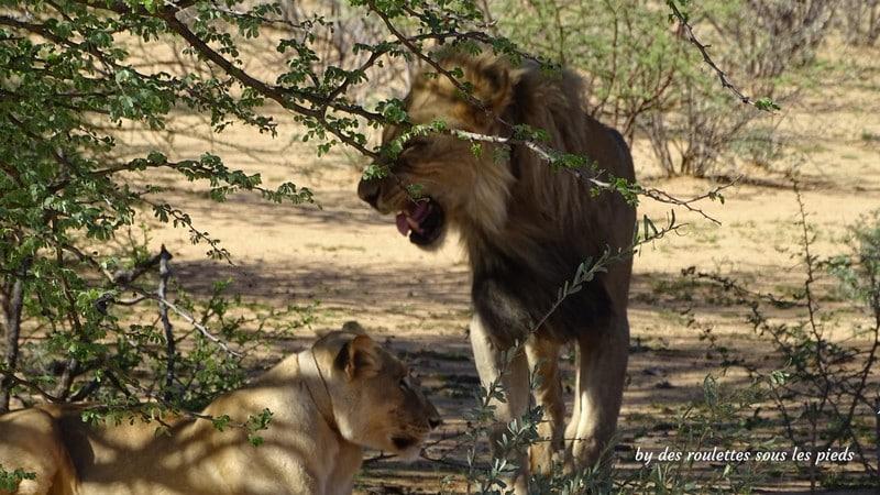 safaris en namibie lions erindi