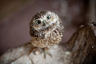 pictures-baby-owl