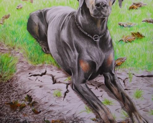 Portrait d'animaux : dessin d'après photo de chien dobermann