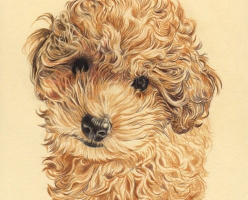 Portrait dessin d'après photo d'un petit caniche