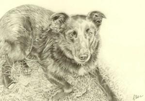 Portrait dessin d'après photo d'une chienne border collie allongée dans l'herbe
