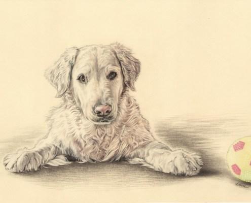 Portrait dessin d'après photo d'un chien golden retriever avec sa balle