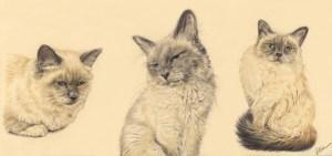 Portrait dessin d'après photo : triptyque d'un chat à trois âges