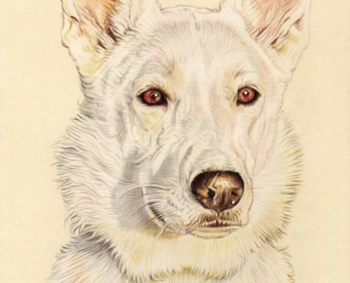 Portrait dessin d'après photo d'un chien Berger blanc