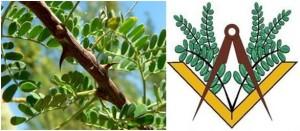 acacia-300x131