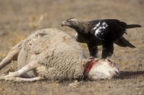 pecora-morta-aquila