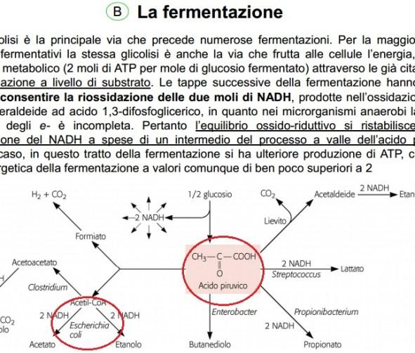 fermentazioneecoli