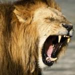 299439__roaring-lion_p
