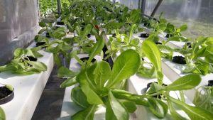 Hidroponik Trend Urban Farming