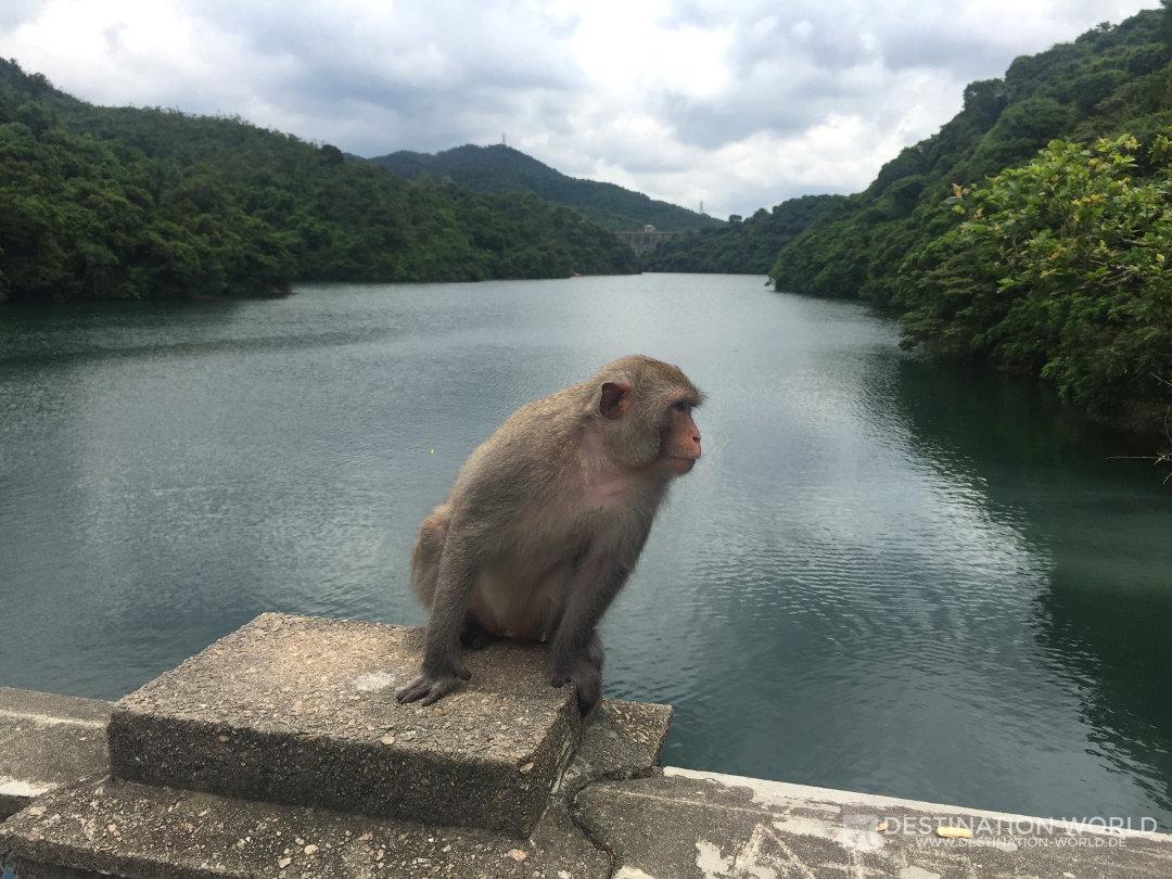 Affen in Hongkong