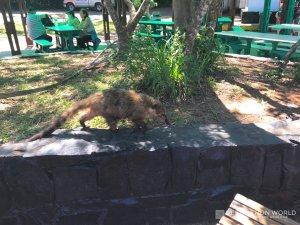 Achtung vor den Nasenbären! Auf der Suche nach Futter machen sie vor keinen Touri halt.