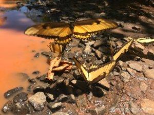 Besonders auf dem Fussweg parallel zur Bahn finden sich unzählige Schmetterlinge