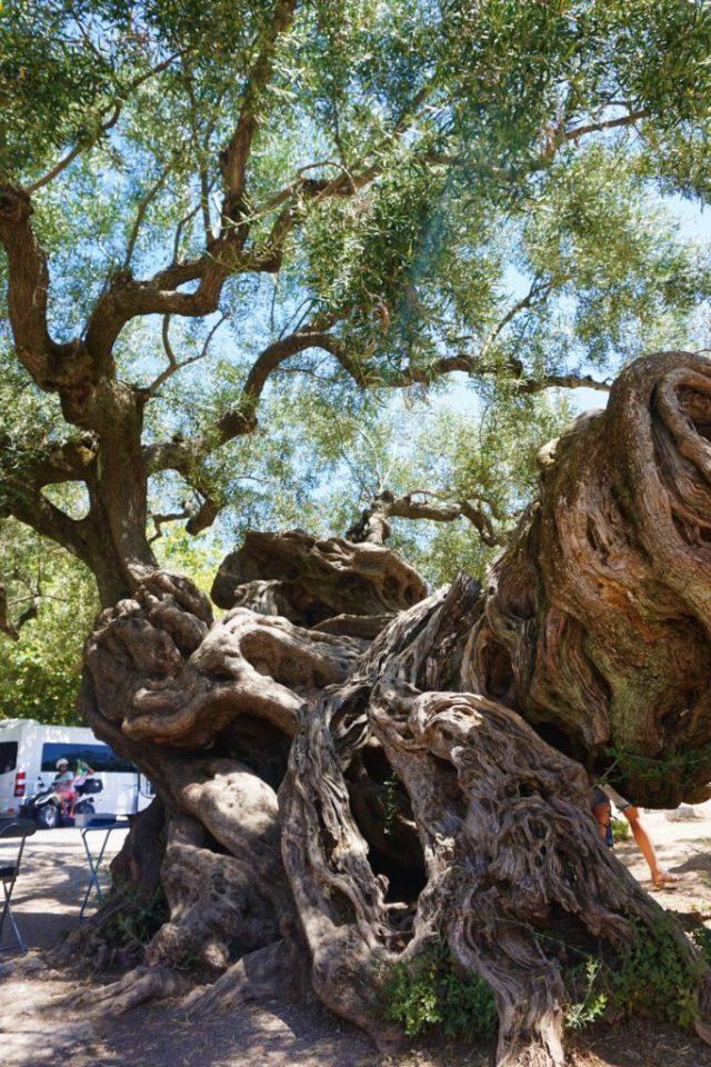 Oliventræ Zakynthos
