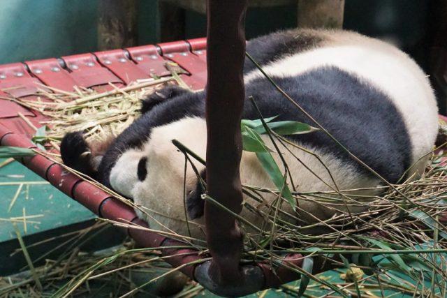 Panda Edinburgh Zoo