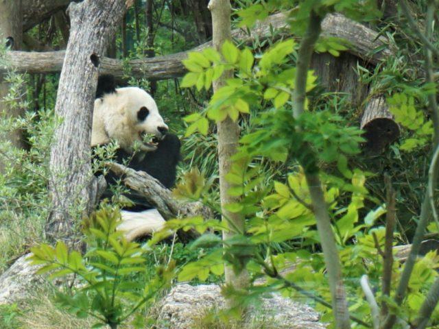Panda Tiergarten Schönbrunn