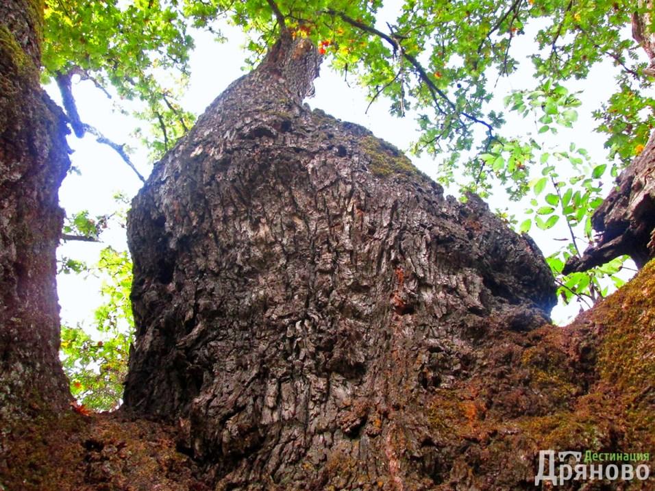 Дървото на Асеневци 3