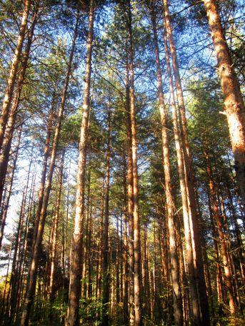 Одринската гора