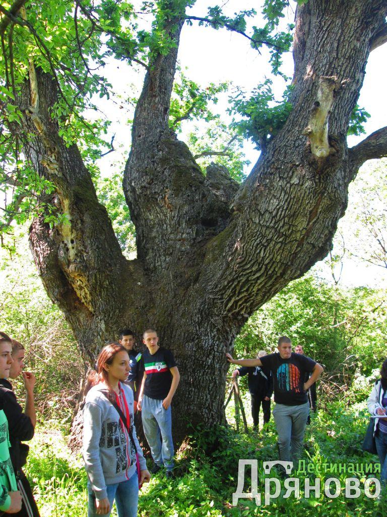 Дървото на Асеневци 1