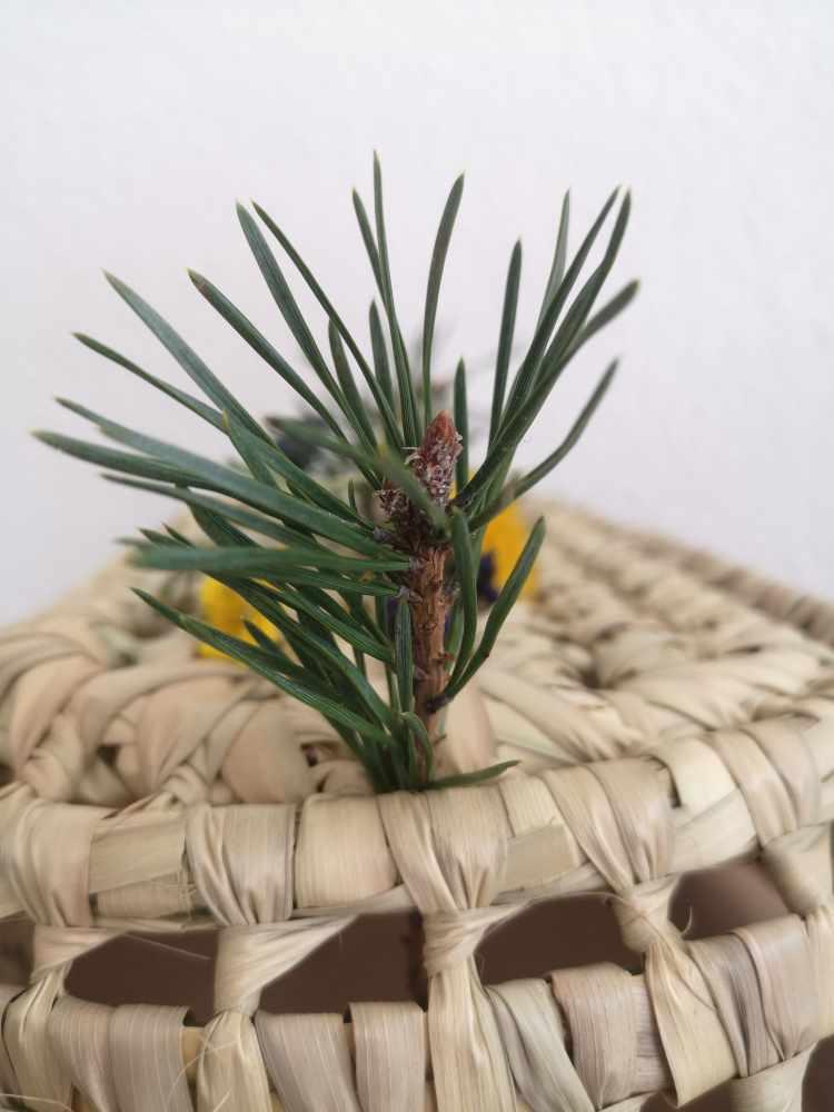 Fleurs des Alpes-Pin Sylvestre