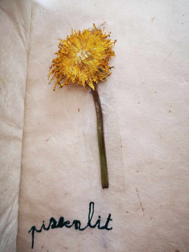 Fleurs des Alpes-Pissenlit