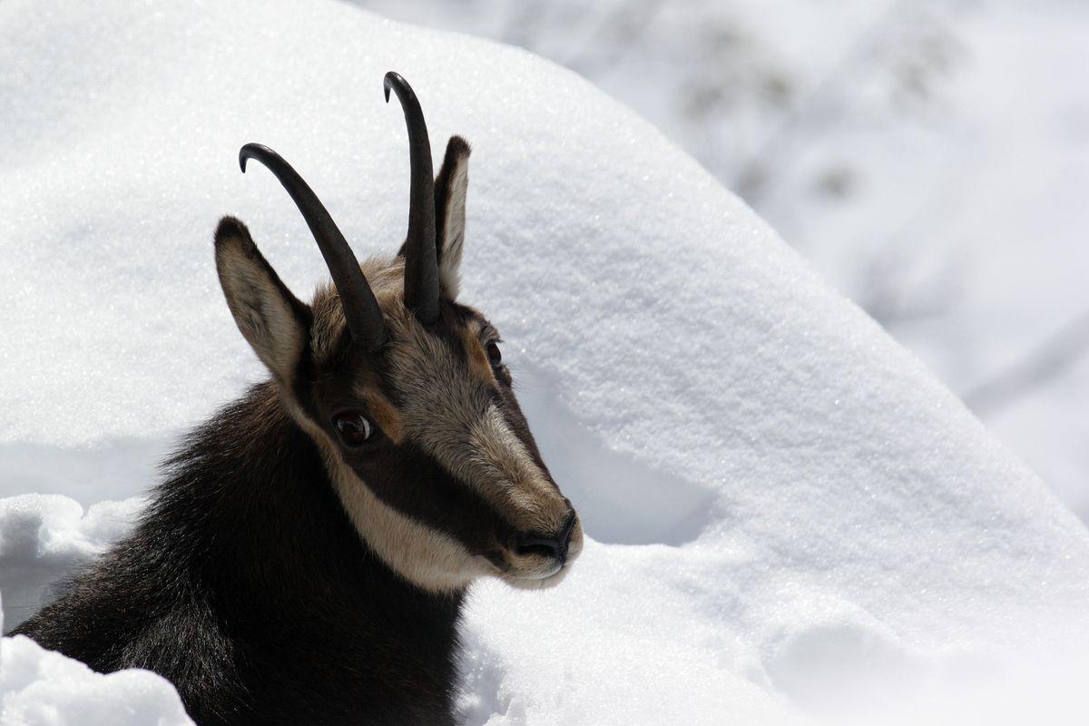 Chamois dans la neige