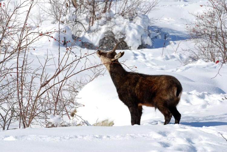 Chamois qui mange des baies d'églantier Parc national des Ecrins