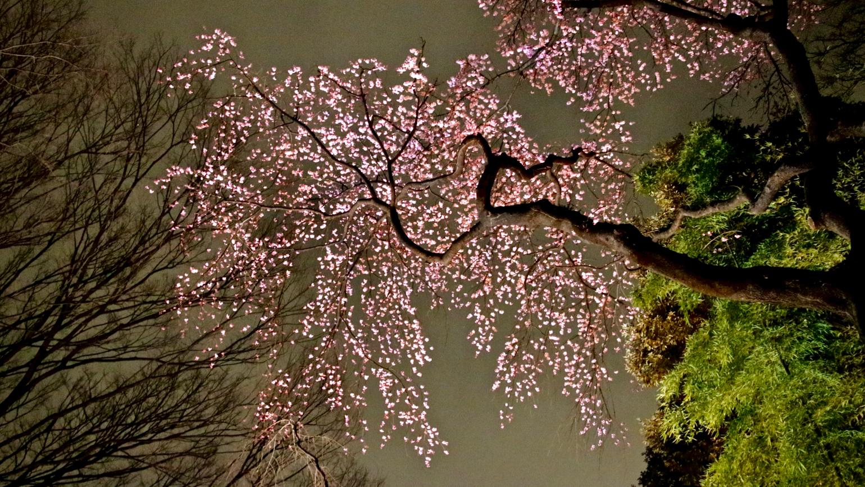 Cherry light up at nighttime in Rikugien, Tokyo