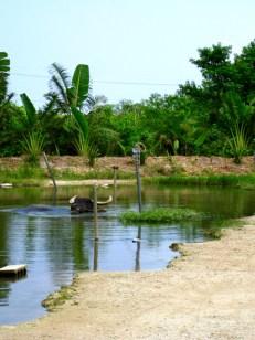 Water Buffalo seeking coolness