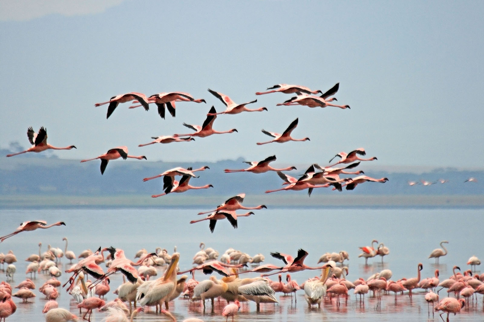 Flamingoes_in_Lake_Nakuru_National_Park