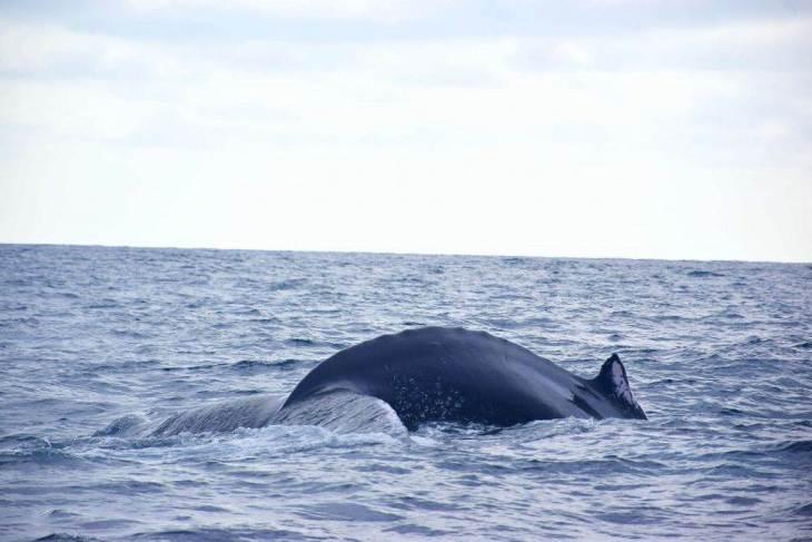 whale watching on isla de la plata tours