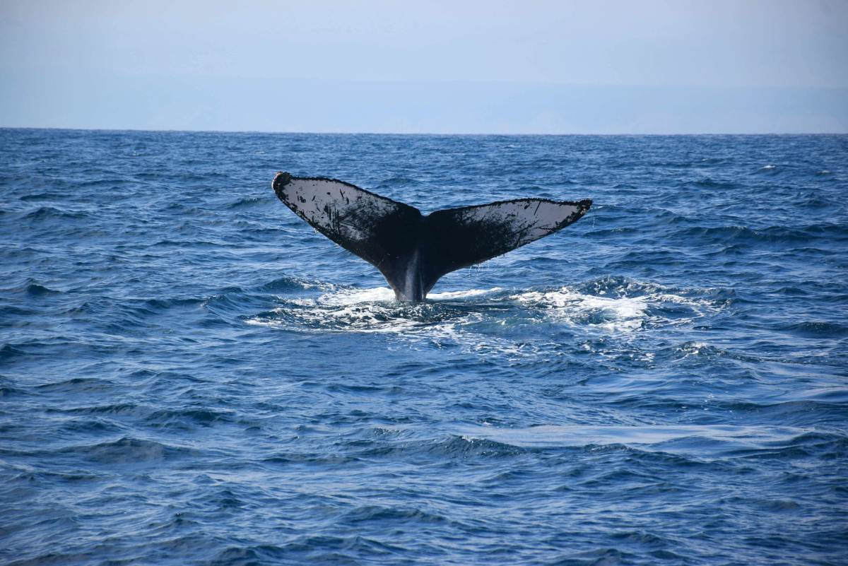 june to august is whale watching so book your isla de la Plata tours