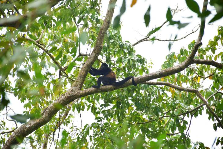 guide to cahuita national park to see howler monkeys