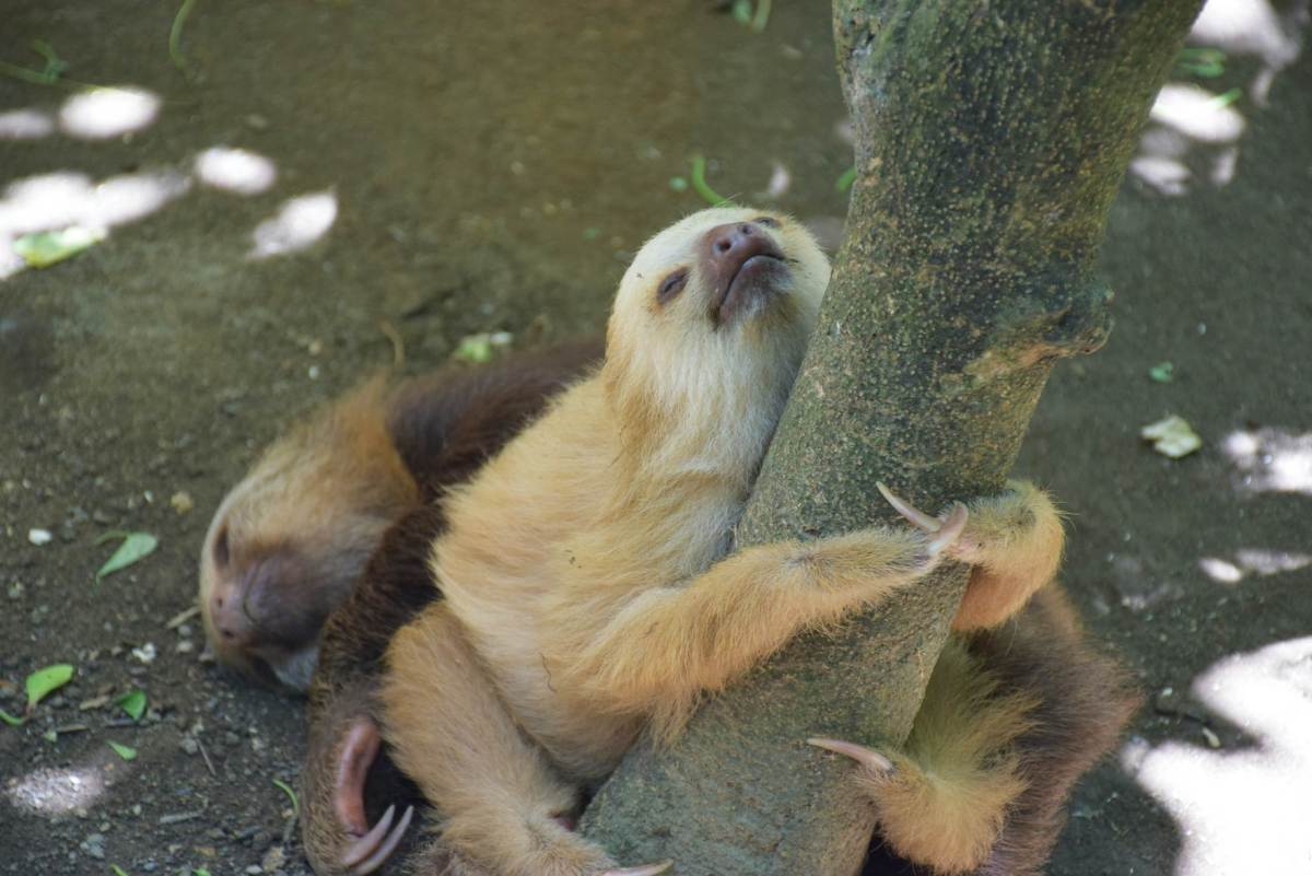 Puerto Viejo, Costa Rica is home to many sloths